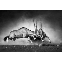 Poster Antilop fight