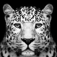 Glastavla Panther - 80x80 cm